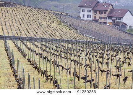 View on Vineyard - Aigle village in Switzerland.