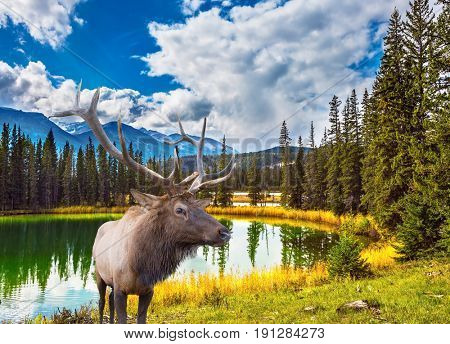 Jasper National Park in the Rocky Mountains. Proud deer antlered stands on the banks of the pretty round lake. The lake reflects multi-colored autumn woods and mountains