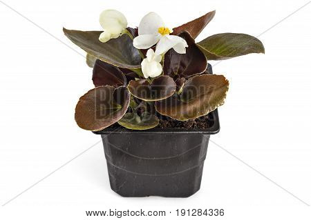 White young garden wax begonia flowers with leaves, Begonia semperflorens-cultorum, in flowerpot on white background