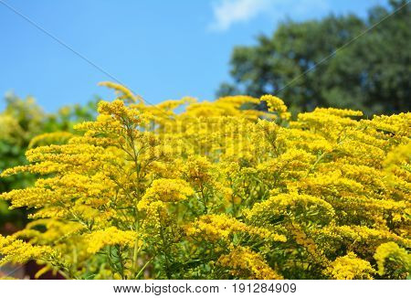 Solidago canadensis Goldenrod flowers with soft focus. Solidago canadensis flowerbed known as Canada goldenrod or Canadian goldenrod.