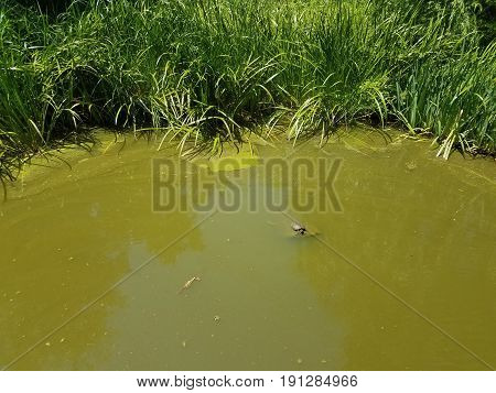 murky pond water with green grasses and turtle