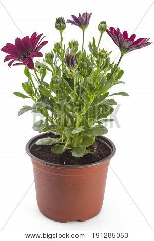 Red young garden African Daisy flowers with leaves, Osteospermum Symphony, in flowerpot on white background