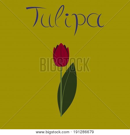 flat illustration on stylish background plant Tulipa