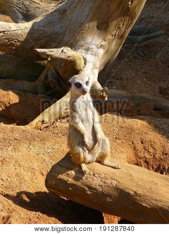 Photo of a meerkat sitting on the wooden log