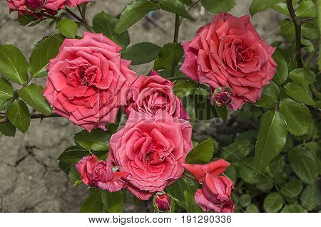 Roses, love symbol roses, pink roses for lovers day, natural roses in the garden