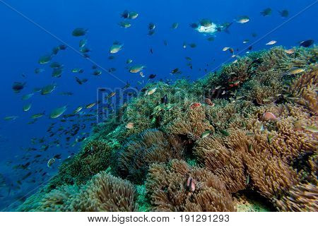 School Of Fish On The Sea Anemone