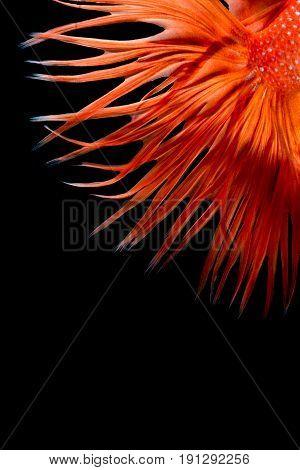 Close Up Art Movement Of Betta Fish,siamese Fighting Fish On Black Background.fine Art Design Concep