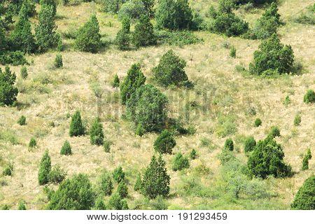 coniferous trees on a hillside . A photo