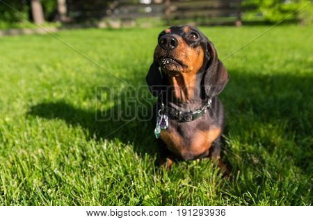 Black Dachshund Sitting On A Green Grass