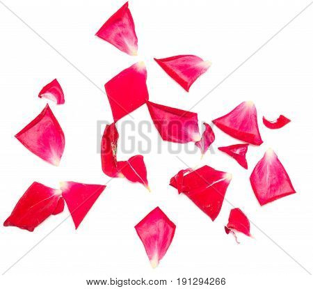 rose petals on white background . A photo
