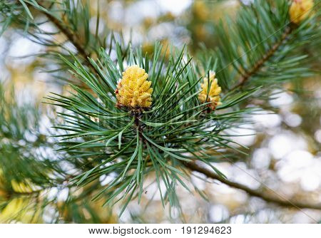 Young Cones On A Pine Branch In Spring Day