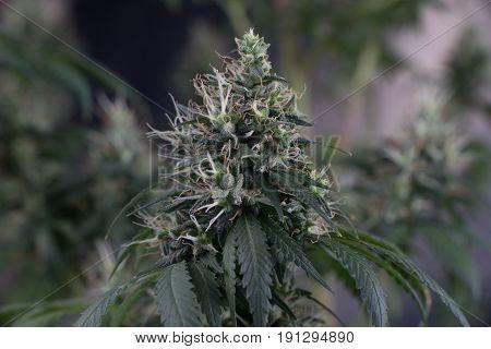 Marijuana cannabis female flower close up macro