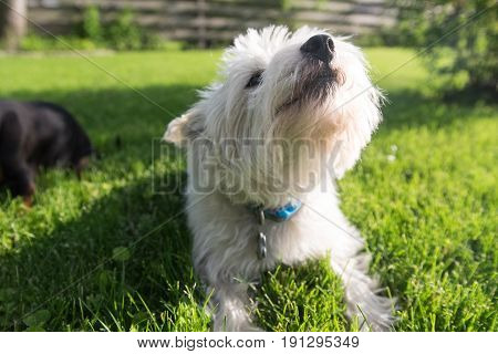 West highland white terrier on a green grass
