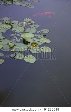 Water lily plants with a Koi Fish.