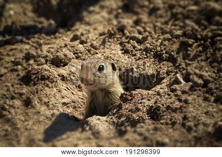 Little baby praire dog in hole. Small sweet and nice child from mammal class.
