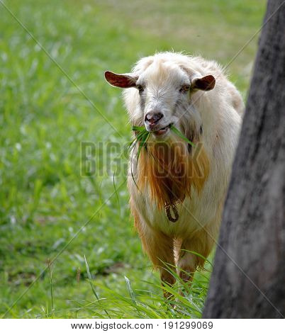 White goat standing, eating grass A white goat with brown mustache standing munching on green grass
