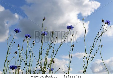 Cornflowers in the sun against a blue sky with clouds summer nature background from a meadow with wild flowers selected focus narrow depth of field