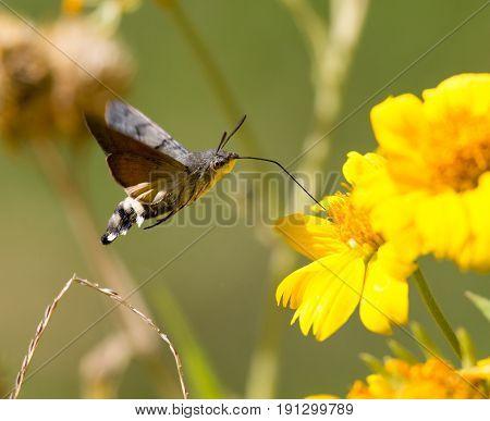 Sphingidae, known as bee Hawk-moth, enjoying the nectar of a yellow flower. Hummingbird moth. Calibri moth.