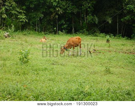 Cattle family eating grass in the field, West Kutai, Kalimantan