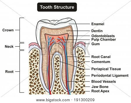 Tooth Cross Section Anatomy with all parts including crown neck enamel dentin pulp cavity gums root canal cement bone and blood supply for medical science education and dental health care