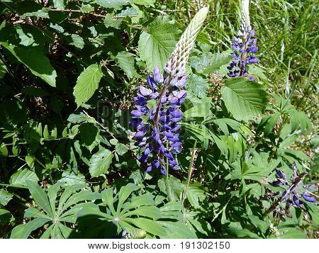 Blooming lupine , (Lupinus polyphyllus) , Blue and purple lupine flowers blooming on spring