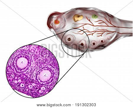 Transverse section of an ovary showing primordial, primary and secondary follicles. Light microscopy, hematoxylin and eosin stain, magnification 200x and 3D illustration