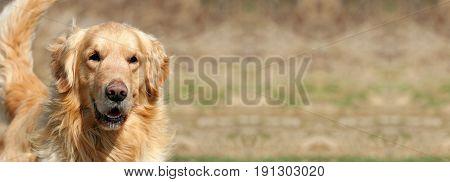 Web banner of a funny golden retriever dog as smiling
