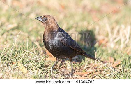 Brown-headed Cowbird - Molothrus ater. Adult Male. Santa Clara County, California, USA.