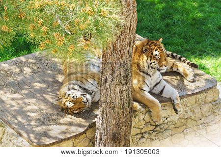 Family Of Amur Tigers Or Siberian Tigers, Or Siberian Tigers, Or The Far Eastern Tigers (panthera Ti