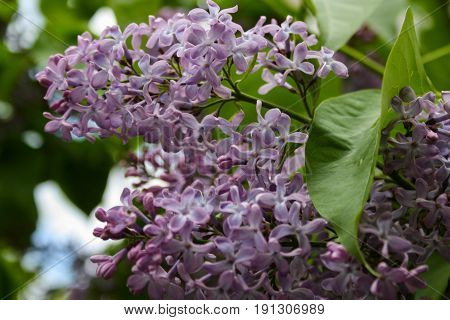 Lilac Blooms. A Beautiful Bunch Of Flowers Closeup. Spring Flowering. Lilac Bush Bloom.