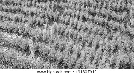 Terrace   Field For  Coultivation Of Rice