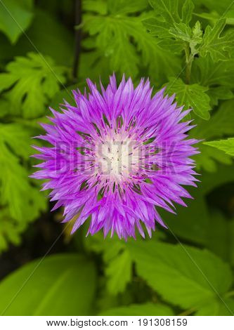 milk thistle flower. milk thistle. pink milk thistle flower close up shallow dof