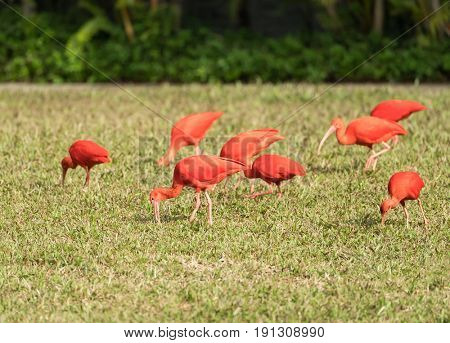 Exotic red-orange bird in the nature. Wildlife. Bright ibis - the national bird of Trinidad and Tobago