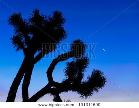 Dawn in the Joshua Tree National Forest
