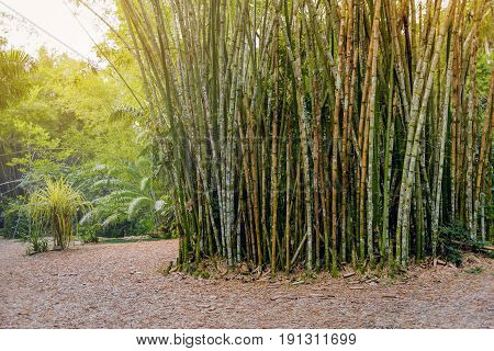 Tropical bamboo forest in Trinidad and Tobago