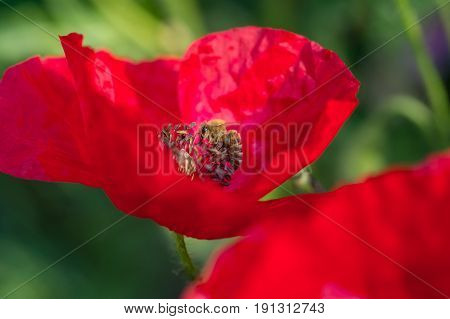 Flower and Bees. Bee pollinating red poppy flowers on meadow in spring