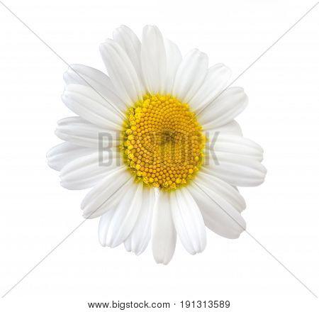 chamomile white flower isolated on white background