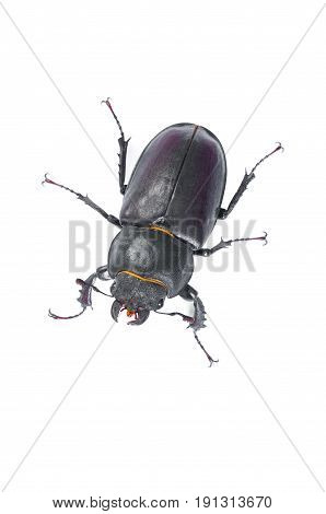 Stag Beetle Bug. Female stag-beetle . Hi resolution studio photography