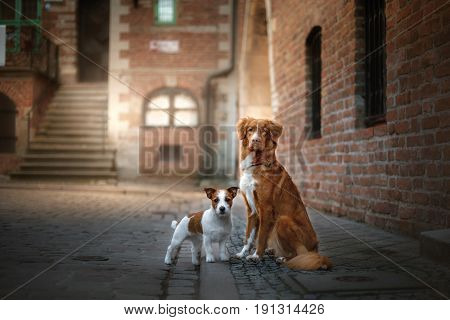 Two dogs Nova Scotia duck tolling Retriever and Jack Russell Terrier in the old town