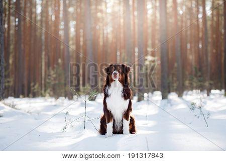 The Australian Shepherd In The Winter In Nature