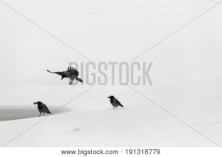 Three crows on the snow to share the same food. One crow in flight