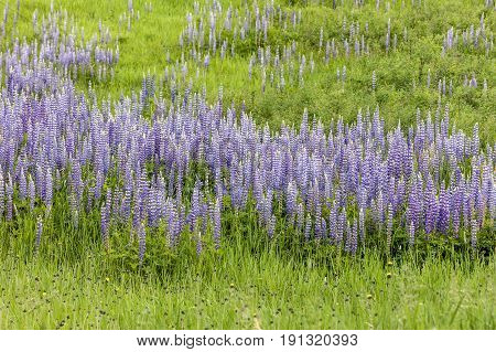 Lupine flowers in north Idaho. A field of purple lupine flowers in north Idaho.