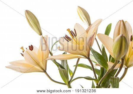 Pretty yellow lilies on white. A studio close up image of pretty yellow lilies against a white background.