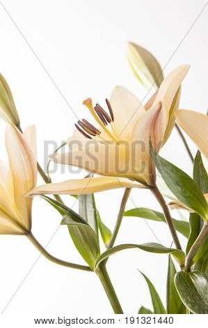 Bright image of lilies. A studio close up image of pretty yellow lilies against a white background.