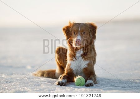 Dog Nova Scotia Duck Tolling Retriever On The Ice