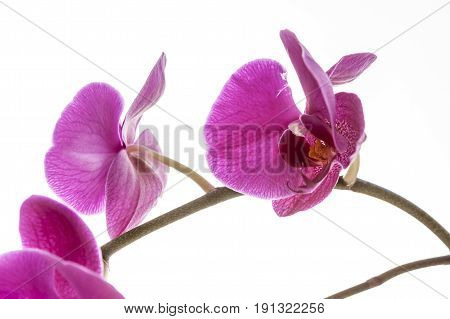 Brightly lit purple orchids. A close up fine art image of a purple orchid lit brightly against a white background.