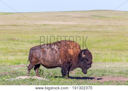 American Bison In The Grasslands Of South Dakota