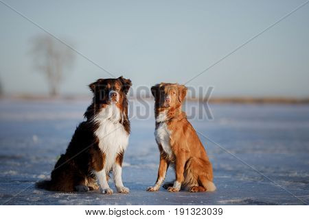 Dog Nova Scotia duck tolling Retriever and Australian shepherd sitting on the ice