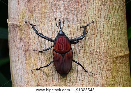 A Giant Red Palm Weevil showing off its size and beauty in the gardens