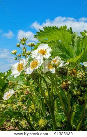 Strawberry flowers with green strawberries on a sunny day
